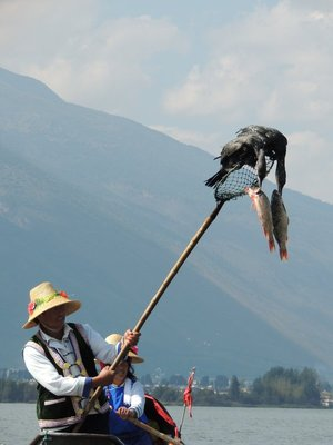 Cormorants with their freshly caught fish