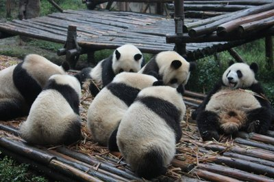 Group of pandas - slob on the right!!