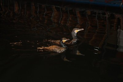 Cormorant Fishing in the dark