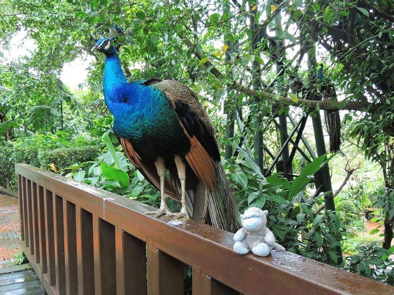 Patch admiring a peacock in KL bird park!