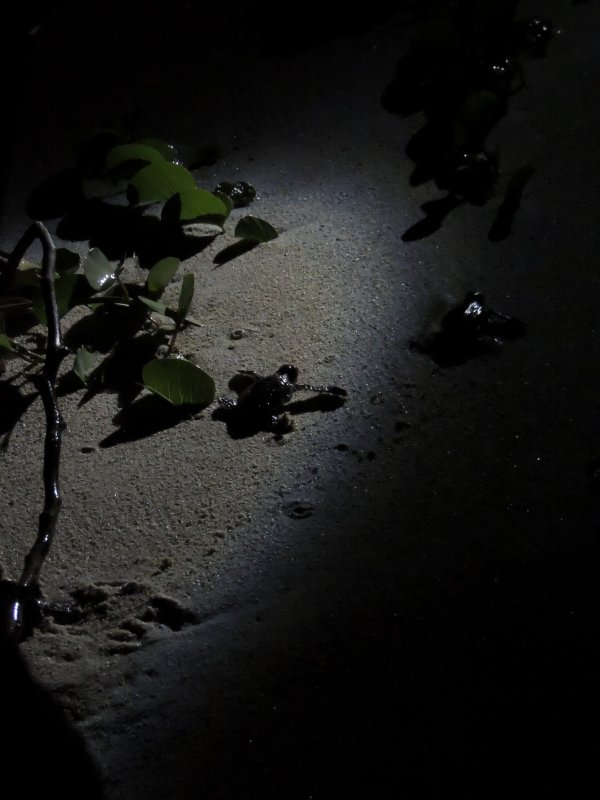Green turtle hatchling release on Turtle Island in Borneo
