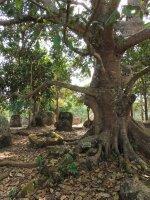 017_Plain_..buddha_tree.jpg