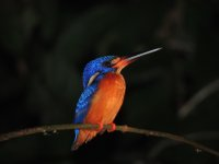 081_Night_.._kingfisher.jpg
