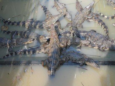Lake Tonle Sap crocodiles