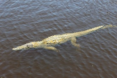 Crocodile in the Harbour at Flamingo