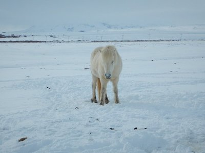 White Icelandic Pony in the Snow