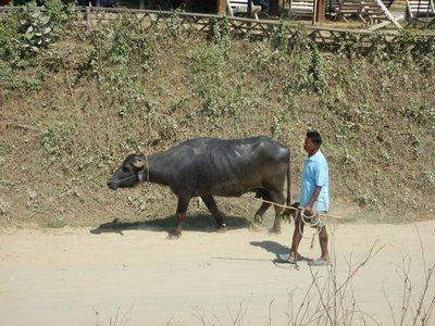 Water Buffalo in the main street, Sauraha