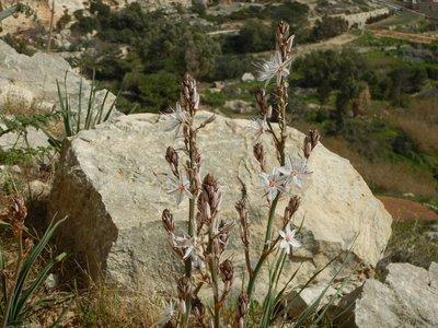 Wild Flowers Malta