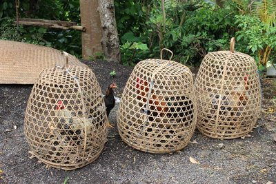 Caged Roosters