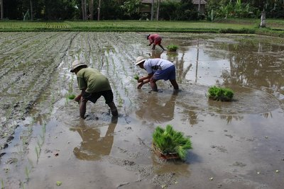 Paddy field planting