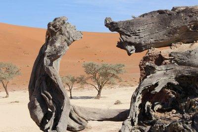 Framed acacia tree - Dead Vlei