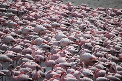 A flamboyance of flamingo.