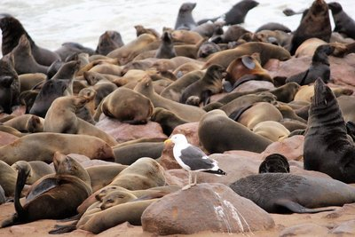 Seagull among the Seals