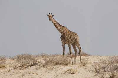 Thirsty giraffe on the way to a waterhole