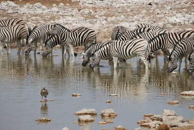Lots of zebra