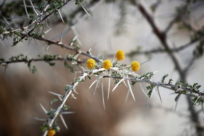 Acacia Flowers and Thorns