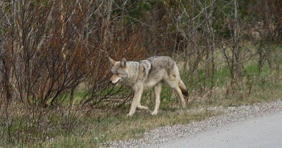 Wolf By The Road