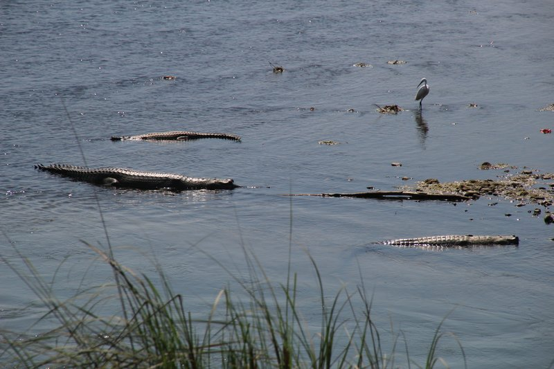 Heron amongst the crocodiles