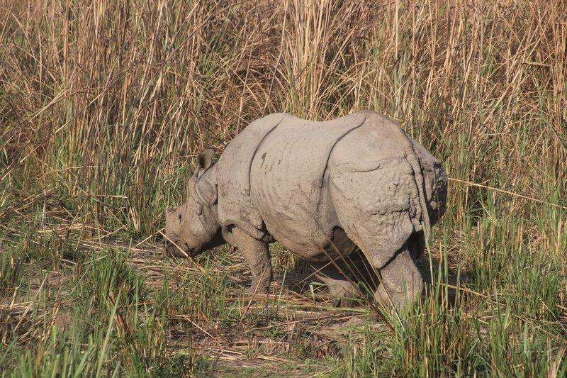 One Horned Rhino at Chitwan