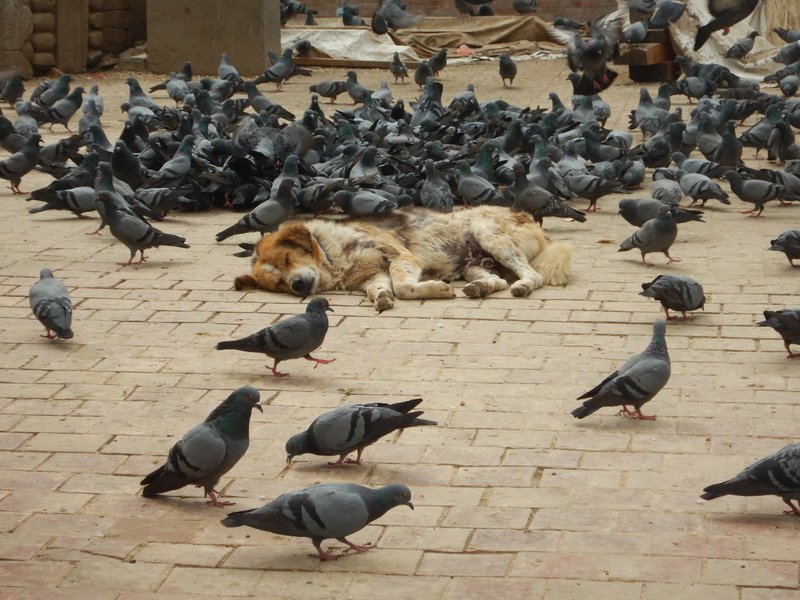 Dog amongst the pigeons