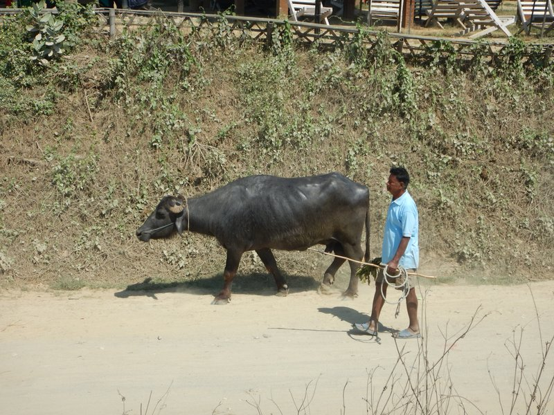 Water Buffalo in the main street, Sauraha