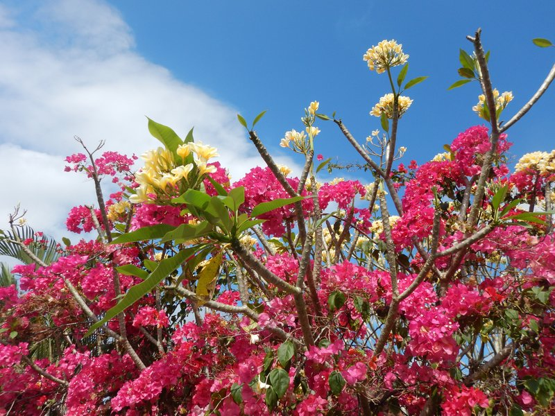 Balinese Blossoms