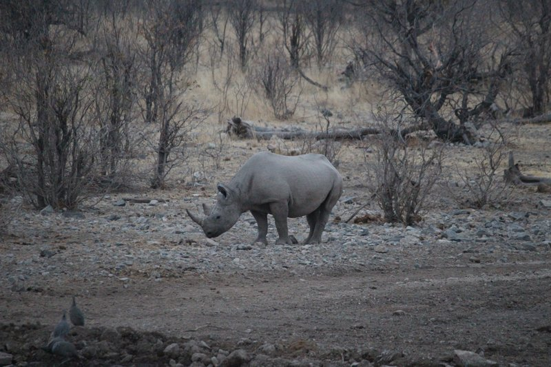 Rhino slowly and nervously coming to the waterhole