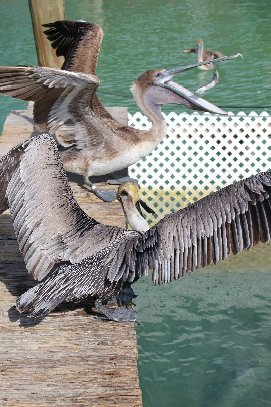 Hungry Pelicans Robbies Marina