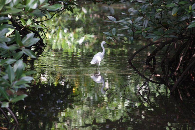 Mangroves and Egret