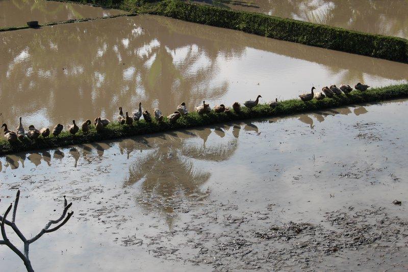 Ducks on the Rice Fields