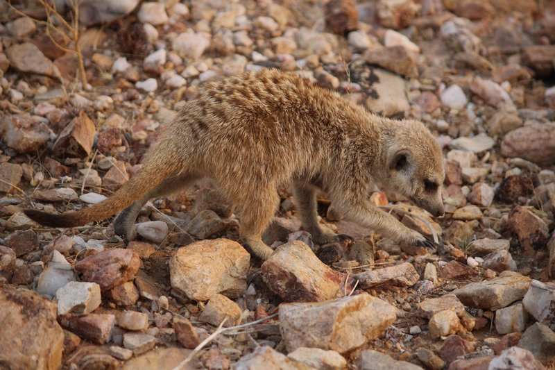Meerkat foraging