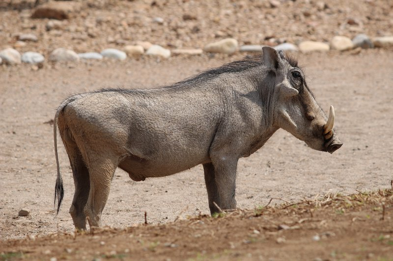 Warthog by the pool.