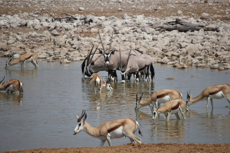 Oryx and Springbok - Okaukuejo