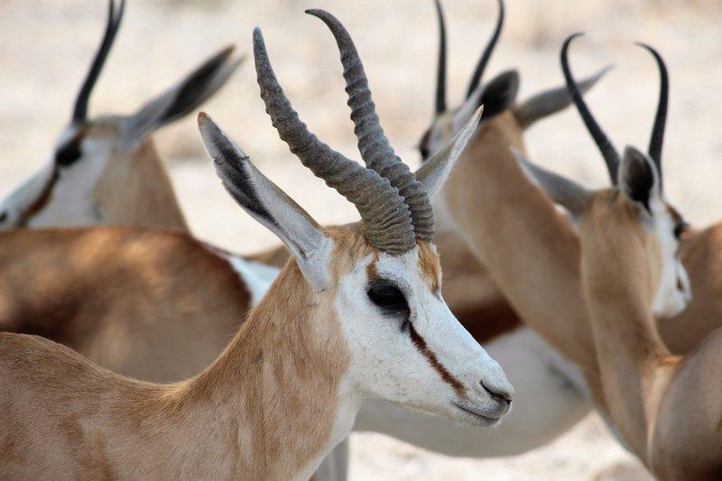 Springbok profile