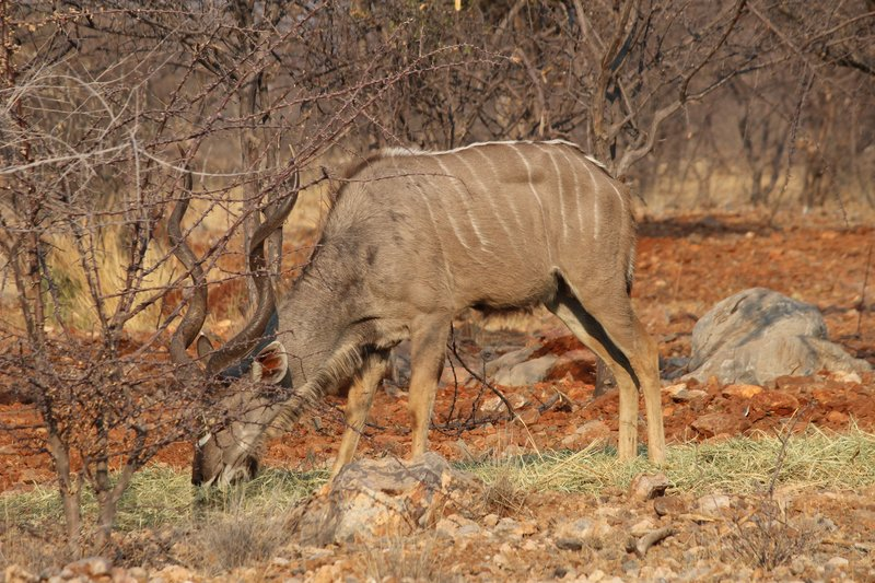 Kudu feeding in the early morning