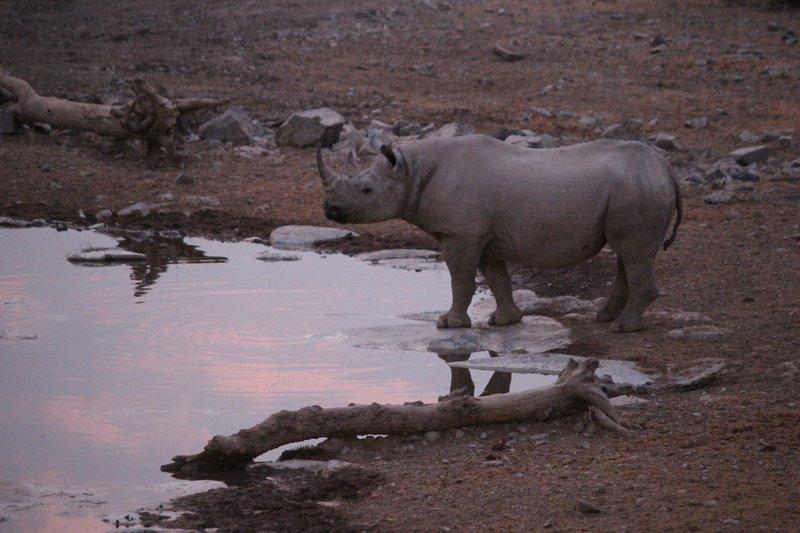 Rhino at dusk