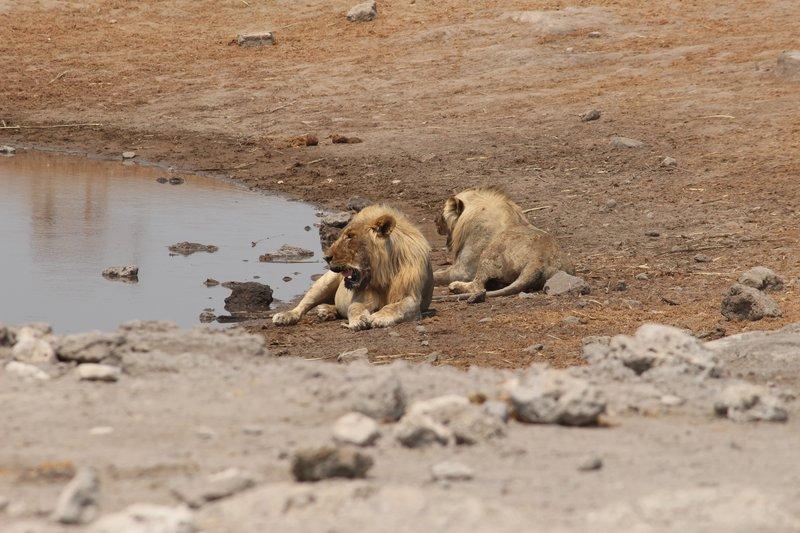 Resting Lions - Chudob Waterhole
