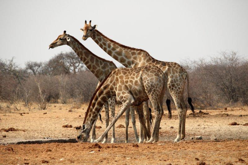 Giraffes at Groot Okevi