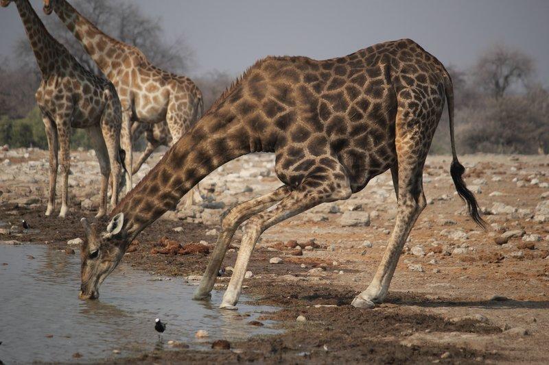 Giraffe at Klein Namutoni Waterhole
