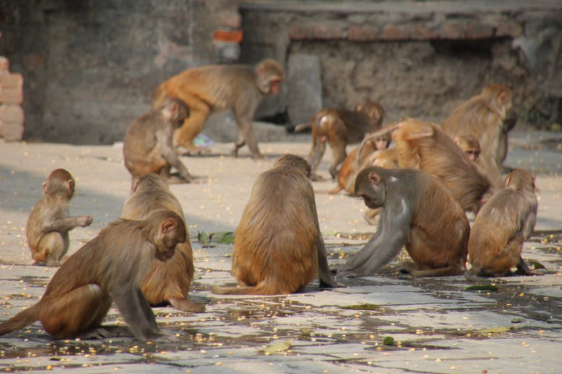 Swayambhunath monkeys