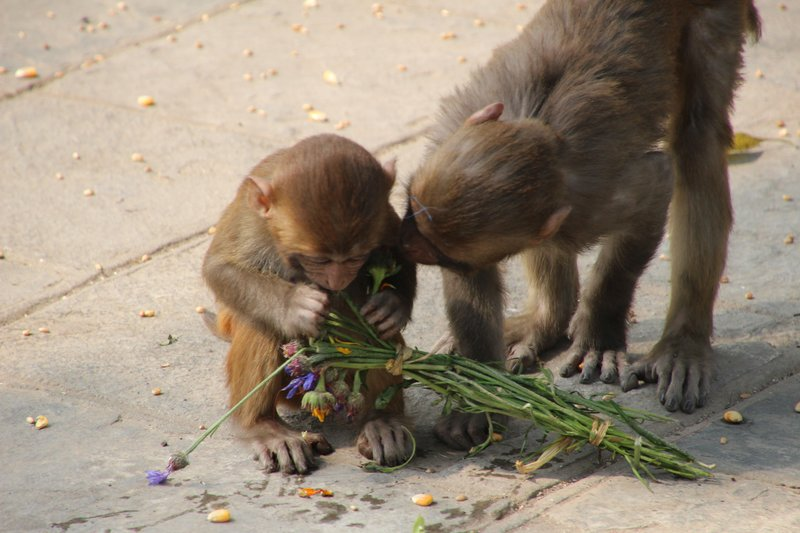 Feeding time for the monkeys of Swayambhu