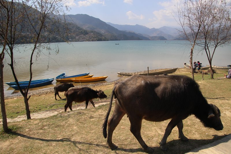 Grazing cattle by the lake