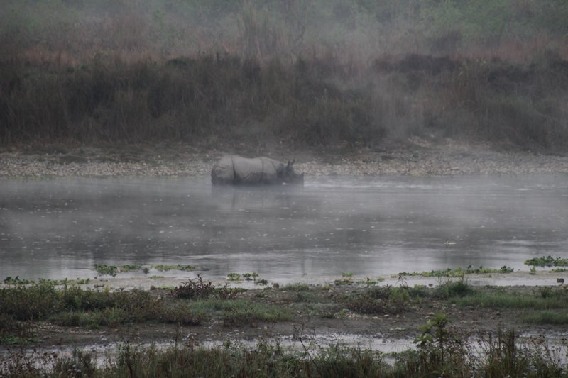 One horned rhino in the river at dawn.