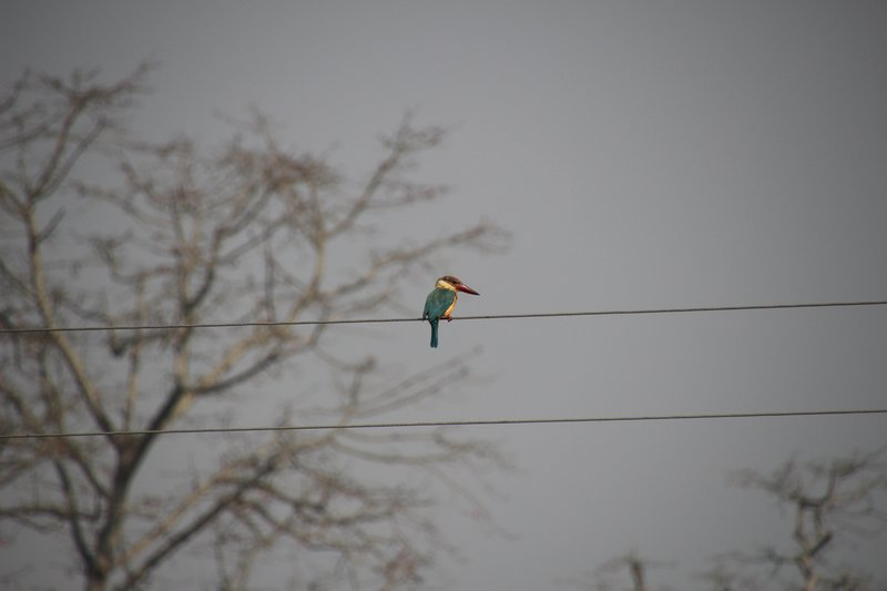 Kingfisher on the telegraph wire