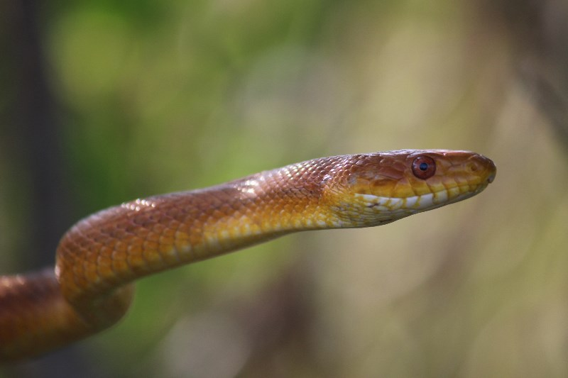 Tree Snake on the Anhinga Trail, Everglades