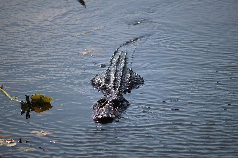 Swimming Alligator