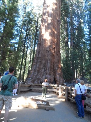 The honor of #1 most massive tree on earth goes to the General Sherman Tree in Sequoia NP.