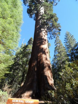 The General Grant tree in Kings Canyon NP is the world's tallest giant sequoia.