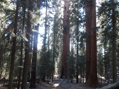 Giant groves of giant sequoias are protected by the park.