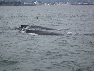 Two humpback whales (Monterey bay)